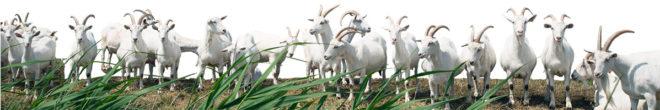 GerbrandaState geiten op een rij