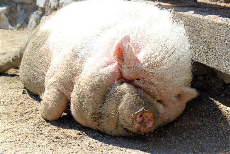 Hangbuikzwijn Knorrie neemt een zonnebad